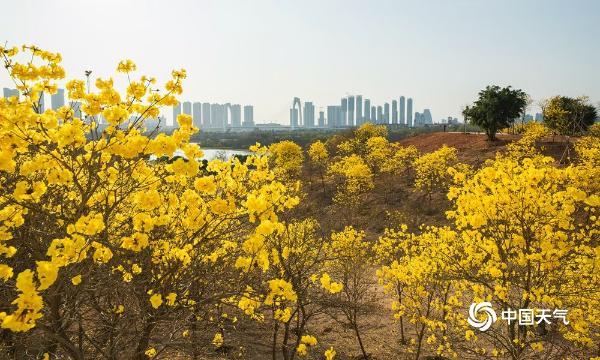 广西南宁的黄花峰铃木 看起来金碧辉煌