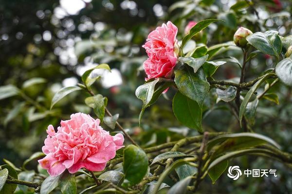 重庆山茶花在春园绽放美丽