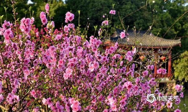 福州西湖公园桃花朵朵开 金色阳光照射下美轮美奂