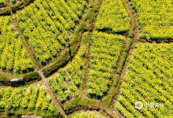 贵州龙里油菜花开春意浓 踏青赏花正当时