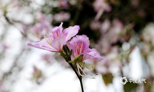 满城春色关不住 广西柳州28万株紫荆花齐盛放