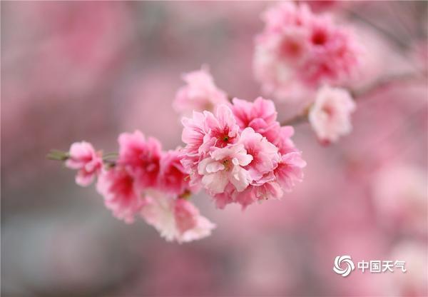 """春光""""樱""""你而来!云南昆明樱花季开启 樱花烂漫盛放"""