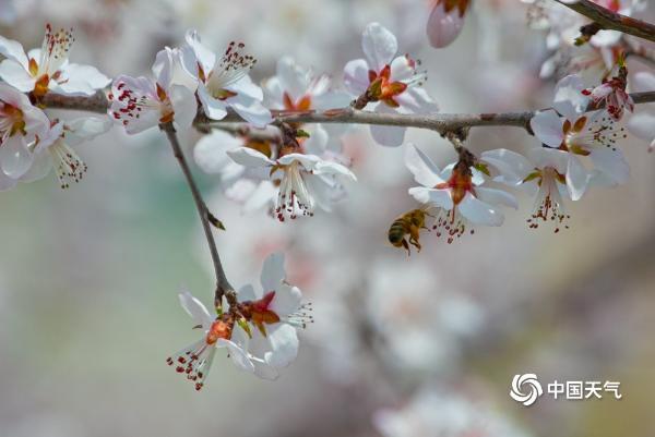 居庸关长城春意浓 桃花盛开蜜蜂飞舞