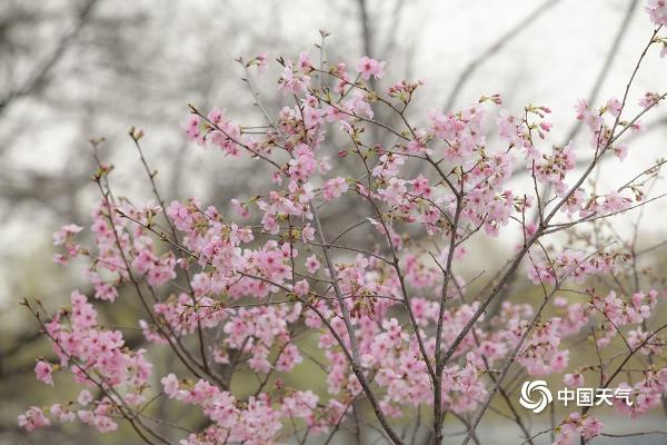 北京即将变成花的海洋 玉渊潭紫竹院春花已悄悄绽放