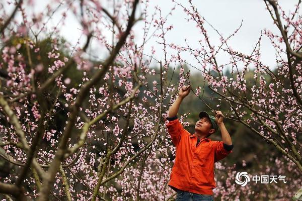 重庆黔江200亩桃花盛开 粉红花海氤氲