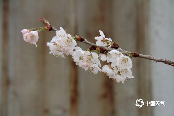 山东威海樱桃花竞相绽放 花团锦簇春意盎然