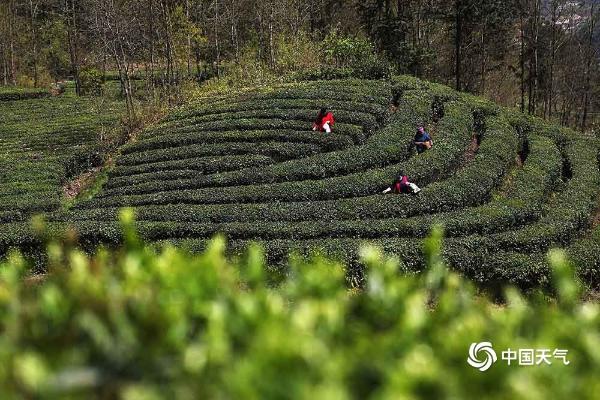重庆黔江晴天在线 茶农抓住时机采摘明前茶