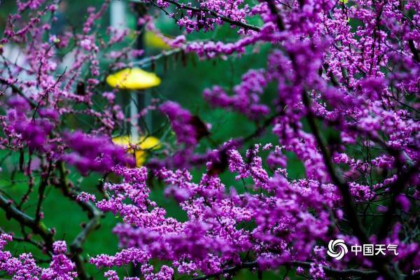雨中紫荆花 美丽脱俗 重庆上演紫梦