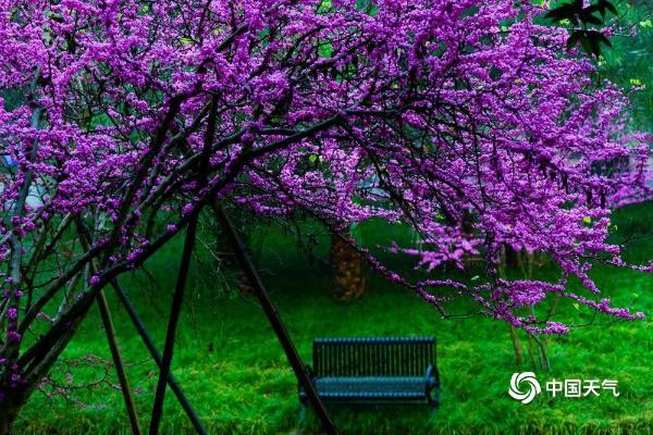 雨中紫荆花清丽脱俗 重庆上演紫色梦幻