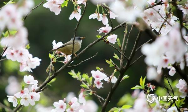 重庆樱花盛开引鸟儿驻足