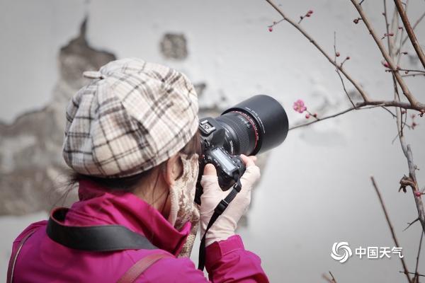 疏影横斜暗香浮动 北京植物园梅花开