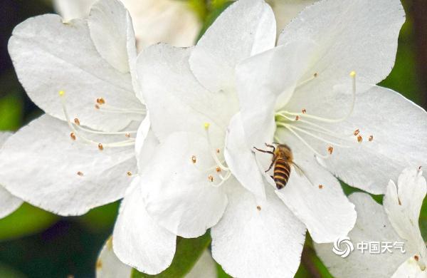 春分时节重庆春意盎然 杜鹃花满园绽放娇艳迷人