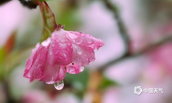 湖南衡阳雨水润春花 海棠花雨中绽放更娇艳