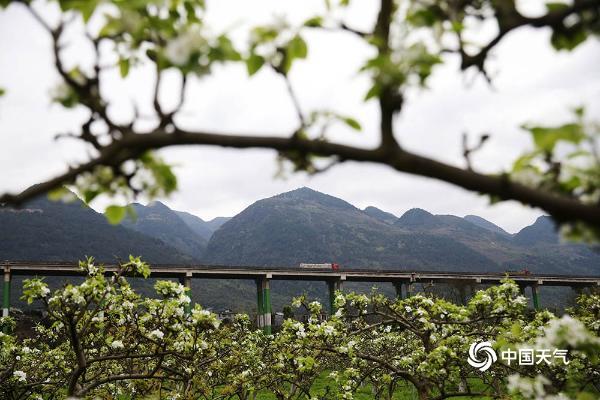 重庆黔江:梨花带雨美山村 游客冒雨醉画中
