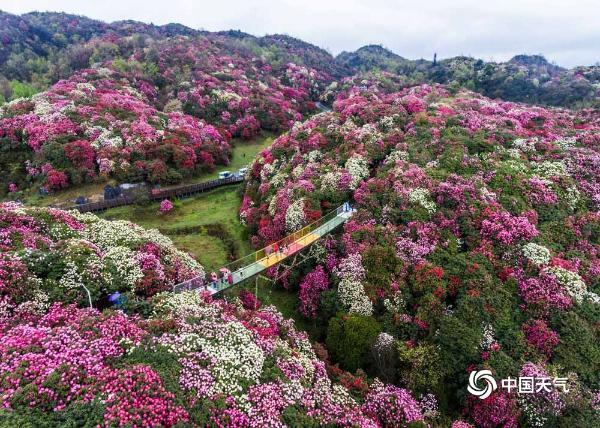 """贵州毕节杜鹃花迎来最佳观赏期 姹紫嫣红美景""""刷屏"""""""