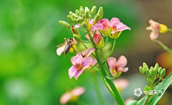 江苏无锡彩色油菜花开放 粉色橙色的油菜花你见过吗?