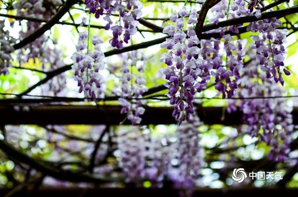 美!重庆紫藤花盛开 花瓣随风飘动犹如紫蝶飞舞