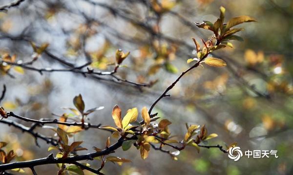 红花还得绿叶衬 北京树木发新芽传递春的生机
