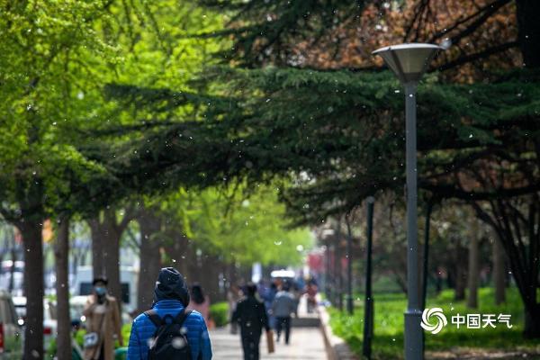 北京开启飞絮季 实拍街头白絮漫天飞