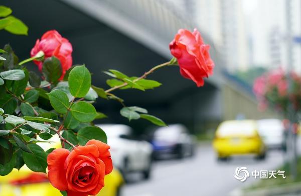 重庆街头月季盛开 扮靓山城四月天