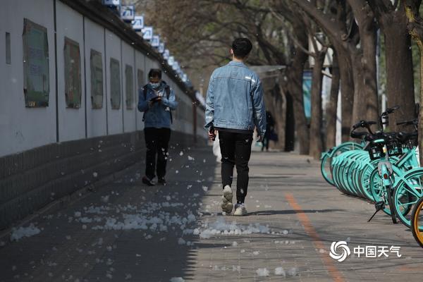 """北京迎来飞絮季 北三环飞絮如""""飘雪"""""""