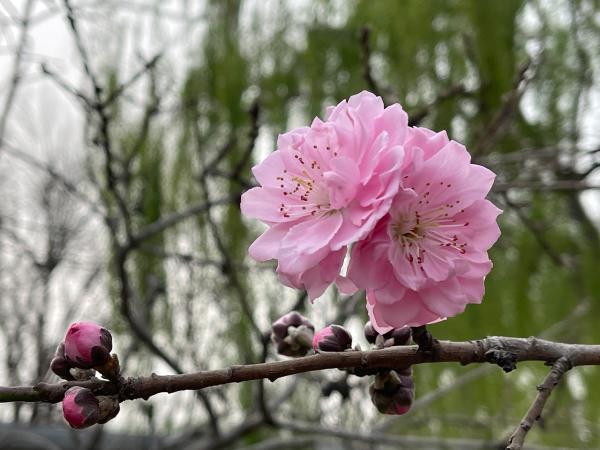 踏青赏春好去处——圆明园第二十六届踏青节开幕