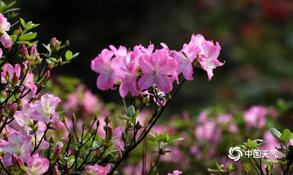 浙江金华百种杜鹃花绽放 姹紫嫣红春色惹人醉