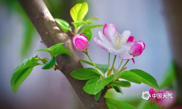四月你好!北京春意盎然 街头春花满枝头