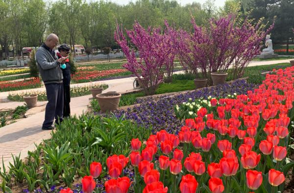 河北石家庄市植物园第十五届郁金香文化节开幕
