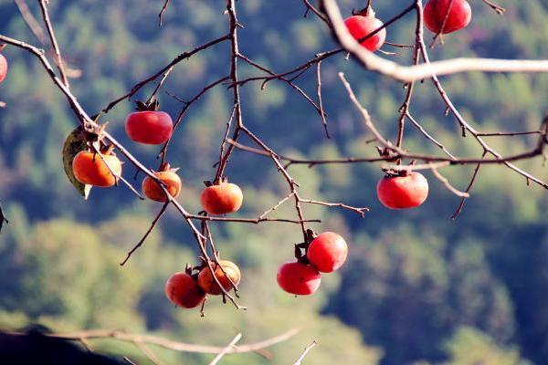 福建漳州:rfd62.com,红柿于眼前 无限情趣生