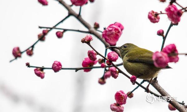 重庆红梅绽放迎新年