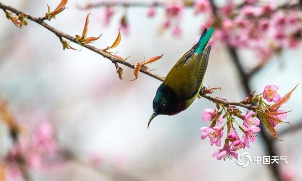 重庆樱花绽放 鸟儿花间觅食