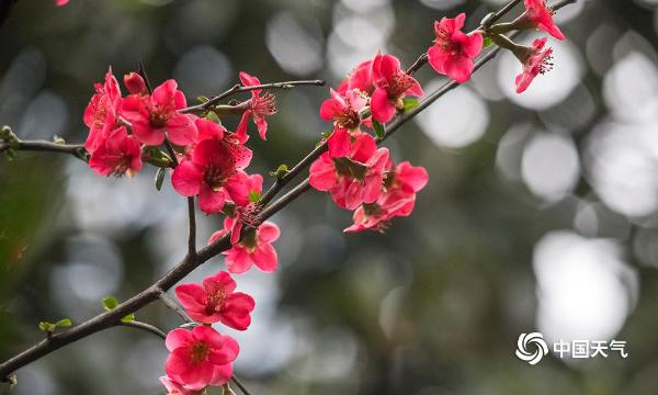 重庆天渐暖 海棠花悄然开放-图片频道-中国天气网