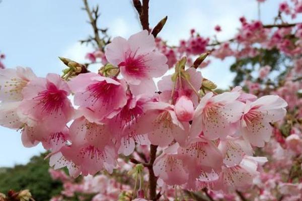 福州阳光明媚 山樱花悄然盛放