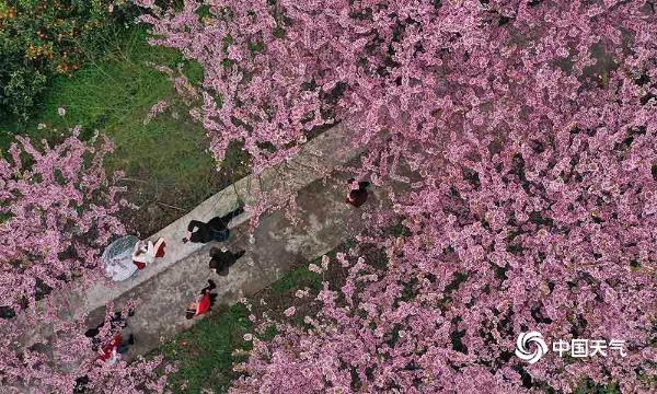 重庆樱花盛开尽显浪漫