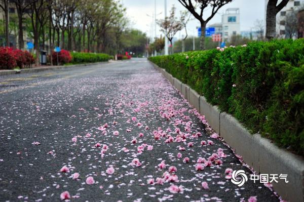 山东日照喜迎春雨 花雨交织一路风景