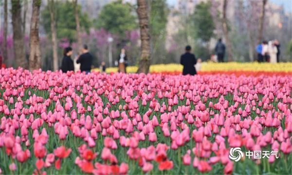 湖北荆州临江仙公园郁金香迎春盛放 绚烂花海醉游人