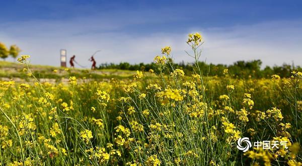 京西油菜花正香 引来蜜蜂采蜜忙