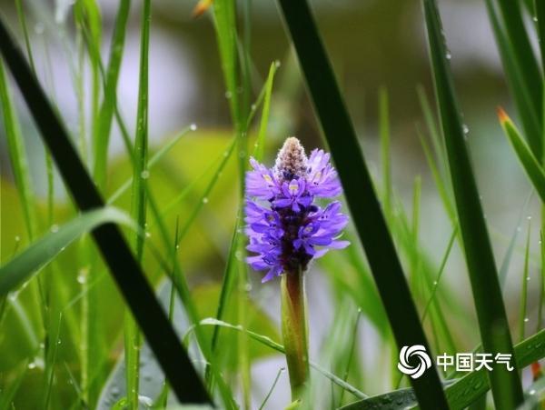 湖南衡阳南湖公园梭鱼草雨中浪漫绽放