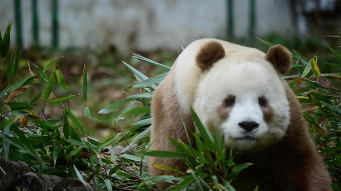 7年饲养佛坪大熊猫,奶爸何鑫联合趣头条为熊猫做件大事