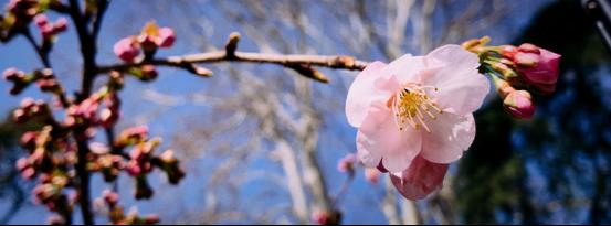 唯春日和樱花不可辜负 ——2019玄武湖樱花节