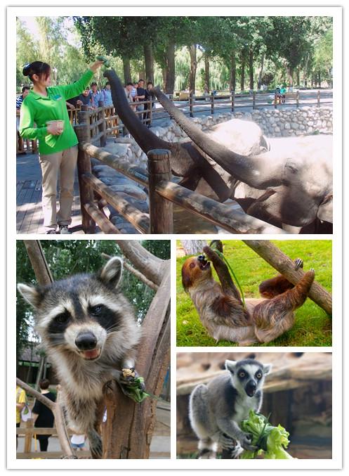 端午节北京野生动物园举办为动物包创意粽子活动