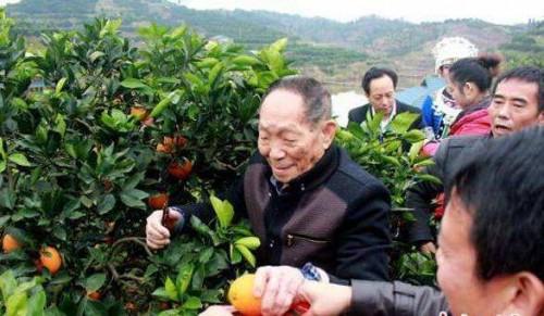 水稻之父袁隆平喊你来吃冰糖橙