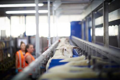 Spring Sheep将顶级绵羊奶源品质标准带上世界舞台