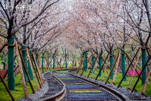 聚大洋湾樱花月  春赏满园樱花艳