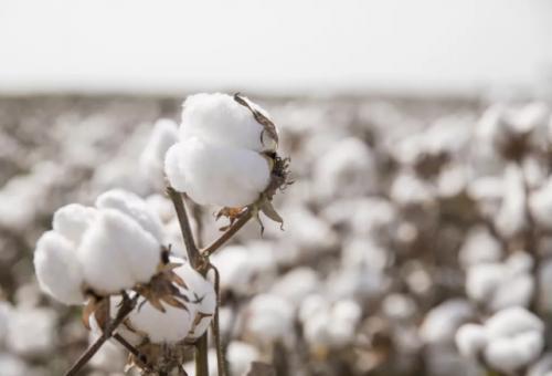 全棉时代:一朵棉花与自然、人的可持续陪伴