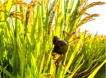 """盘锦蟹田米、延寿长粒香……京东将农产品接入""""云端""""融入双循环"""