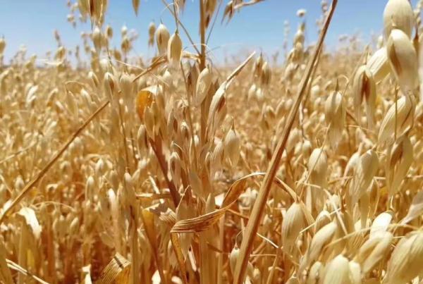 """西麦食品专注高品质燕麦产品与服务,守护""""舌尖上的安全"""""""