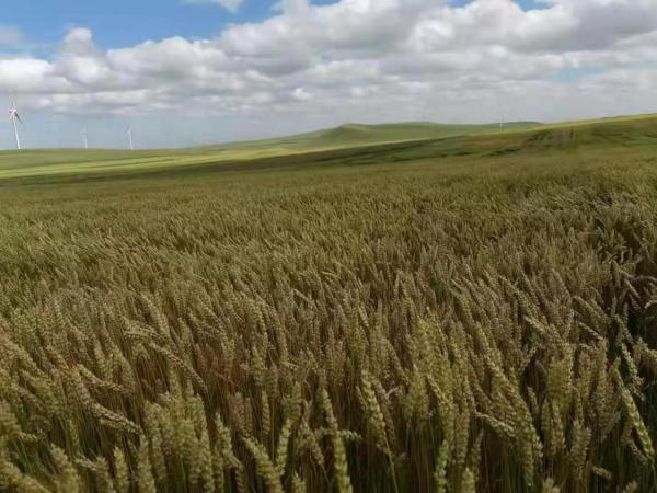 雪川农业优质旱作春小麦喜获丰收