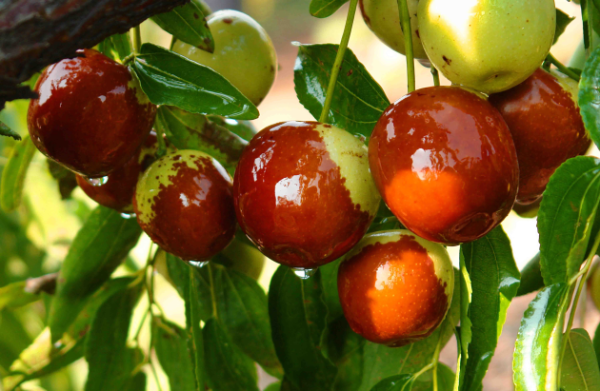 帮助新疆红枣打造和田玉红枣产地